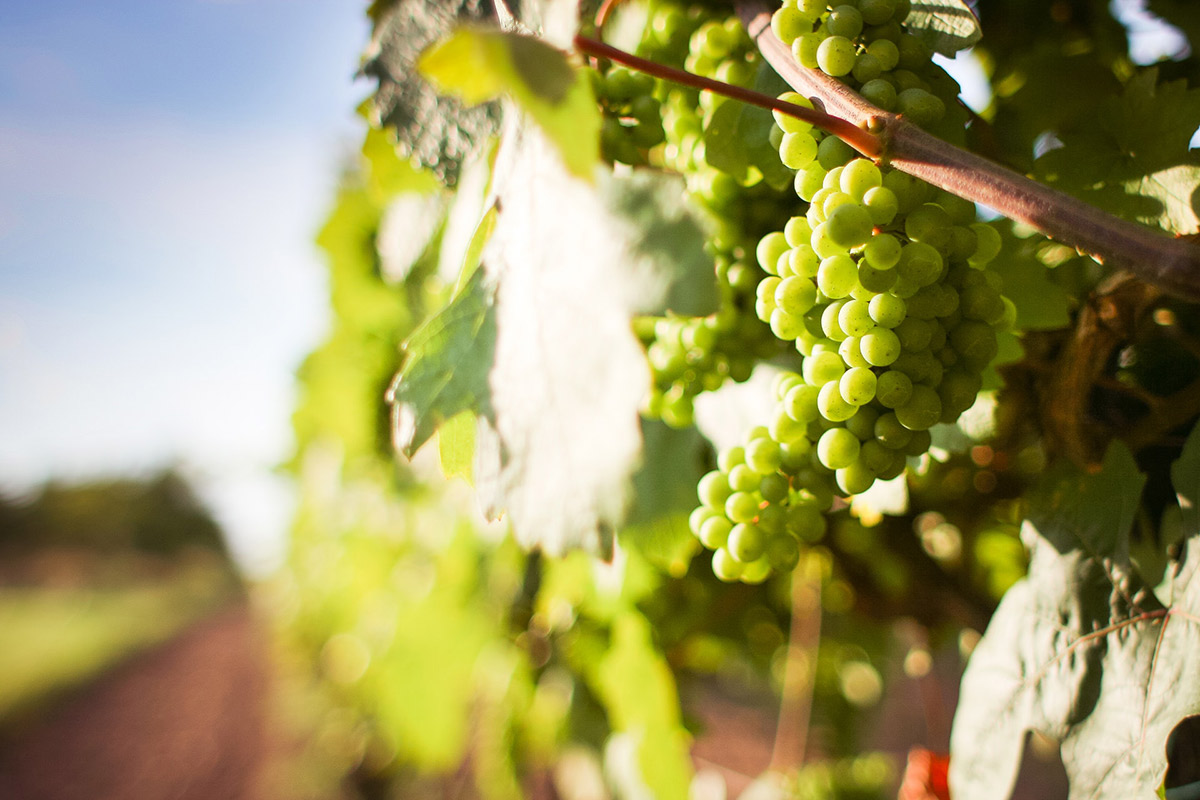 White wine grapes growing on the vines