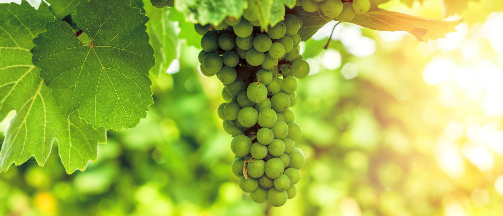 The Curious Wine Drinker's Guide to Sauvignon Blanc - rdwinery
