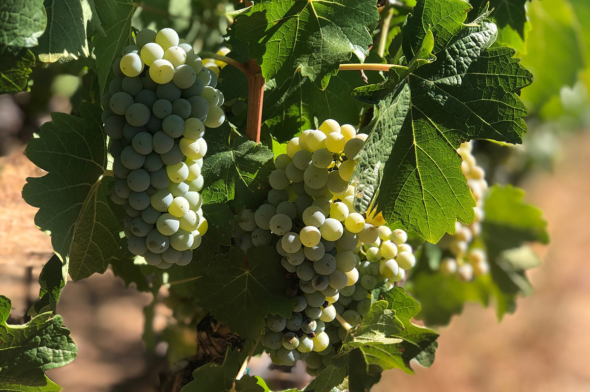 Ripening clusters of Chenin Blanc