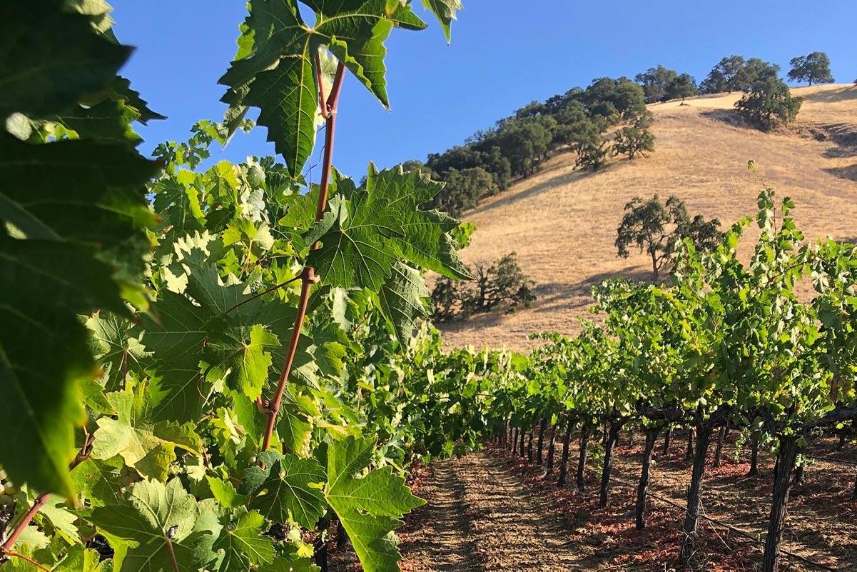 Chenin Blanc Vineyard