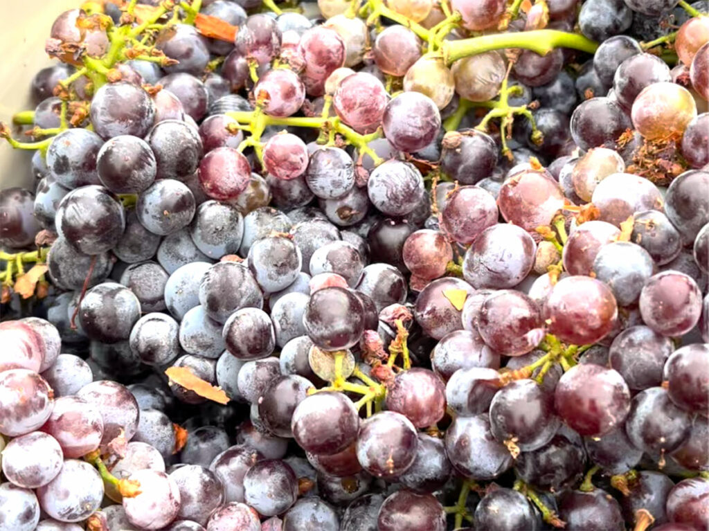 Clusters of grenache just picked