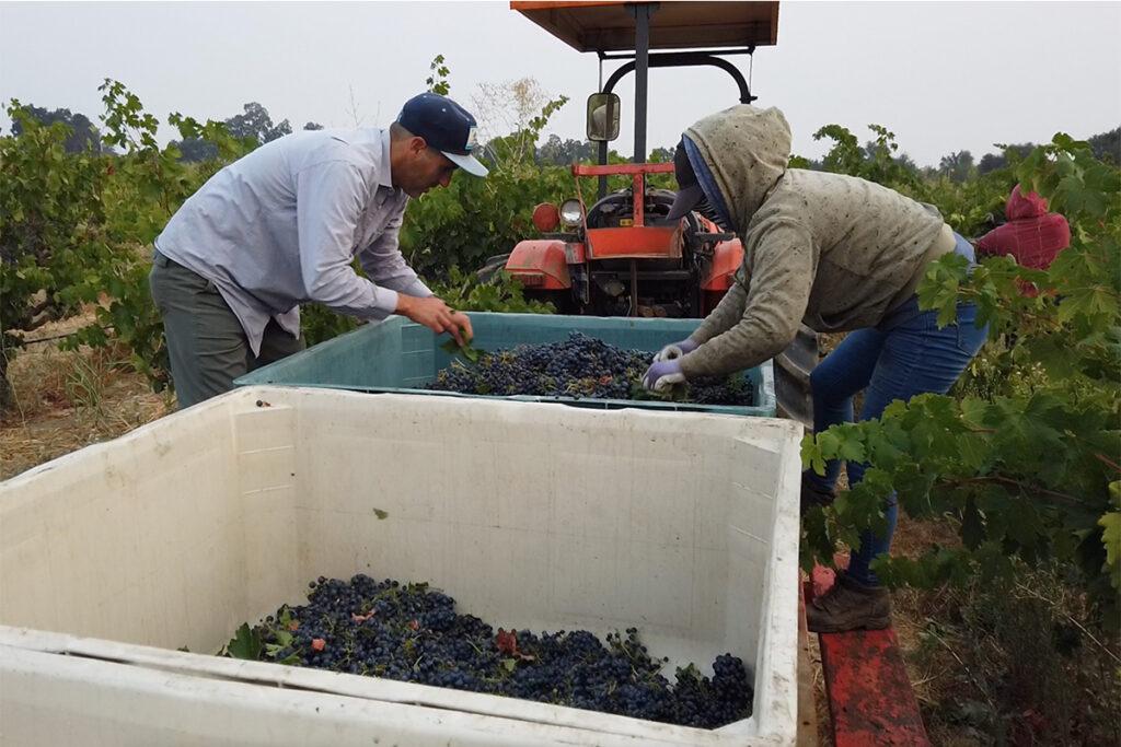 Crew sorting fruit at Stampede Vineyard, Lodi.